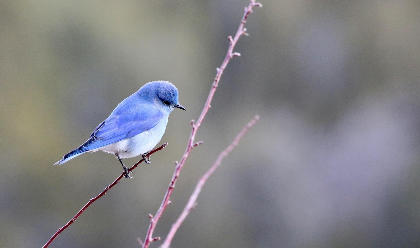 blue bird that looks like the Twitter logo